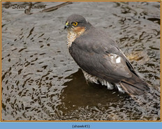 sparrowhawk-45.jpg