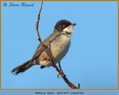 sardinian-warbler-20.jpg