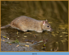 brown-rat-17.jpg