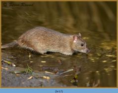 brown-rat-17.jpg