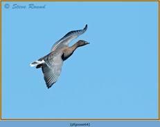 pink-footed-goose-64.jpg