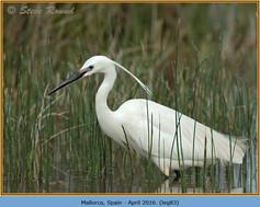 little-egret-83.jpg