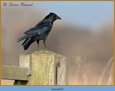 carrion-crow-55.jpg