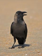house-crow-02.jpg