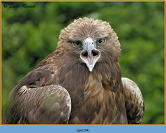 golden-eagle(c)-04.jpg