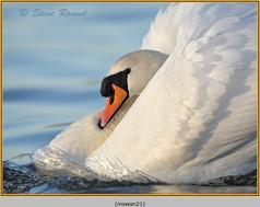 mute-swan-21.jpg