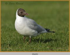 black-headed-gull-56.jpg