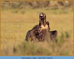 black-vulture-23.jpg
