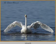 whooper-swan-38.jpg