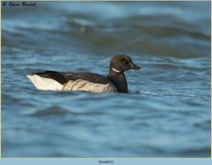 brent-goose-31.jpg