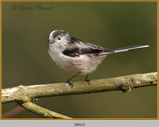 long-tailed-tit-63.jpg