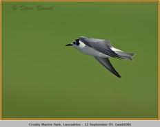 white-winged-black-tern-08.jpg