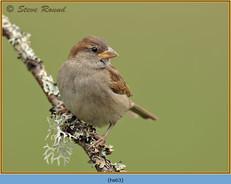 house-sparrow-63.jpg