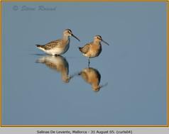 curlew-sandpiper-04.jpg