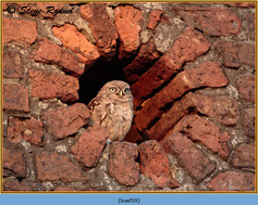 little-owl-59.jpg