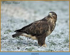 buzzard-107.jpg