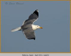 yellow-legged-gull-43.jpg