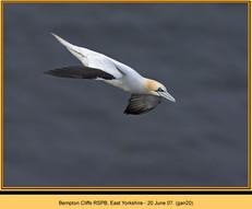 gannet-20.jpg