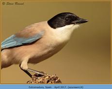 azure-winged-magpie-14.jpg