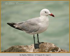 audouin's-gull-17.jpg