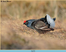 black-grouse-105.jpg