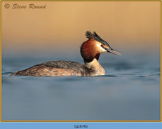 great-crested-grebe-76.jpg