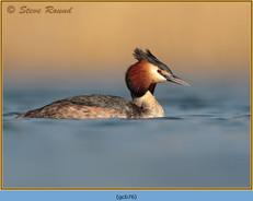 great-crested-grebe-76.jpg
