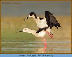 black-winged-stilt-70.jpg