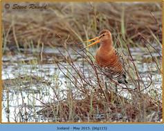 black-tailed-godwit-115.jpg