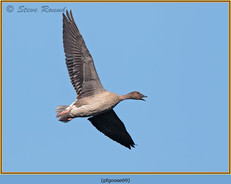 pink-footed-goose-69.jpg