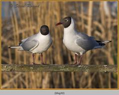 black-headed-gull-20.jpg