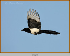 magpie-40.jpg