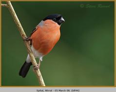 bullfinch-44.jpg