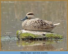 marbled-duck-06.jpg