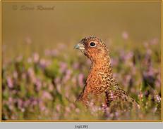 red-grouse-139.jpg