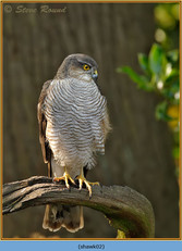 sparrowhawk-02.jpg