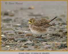 shore-lark-05.jpg