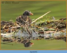 little-grebe-09.jpg