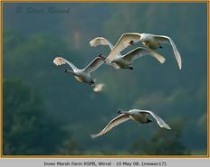 mute-swan-17.jpg