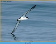 manx-shearwater-41.jpg