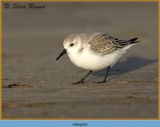 sanderling-60.jpg