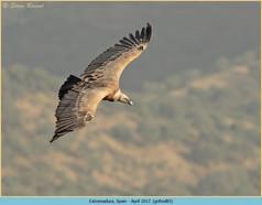 griffon-vulture-85.jpg