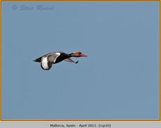 red-crested-pochard-10.jpg