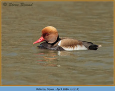 red-crested-pochard-14.jpg