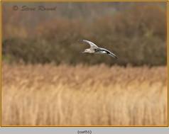 curlew-51.jpg