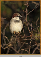 house-sparrow-33.jpg