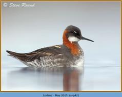 red-necked-phalarope-42.jpg