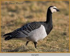 barnacle-goose-09.jpg