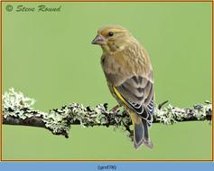 greenfinch-78.jpg