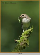 pied-flycatcher-37.jpg